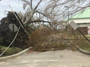 hurricane damage trees